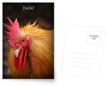 """Hello"" chook postcard"
