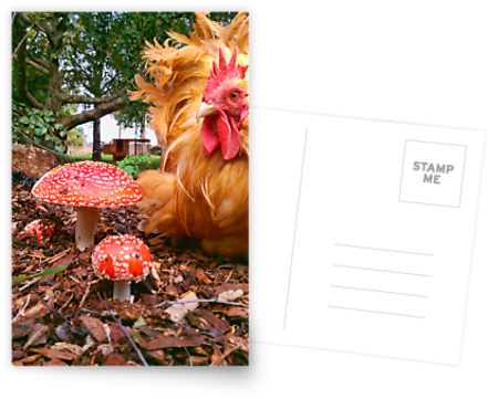 """Mr Roo & the Funky Fungii"" chook postcard"